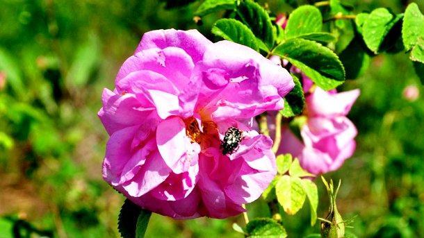 Маслодайната роза дамасцена