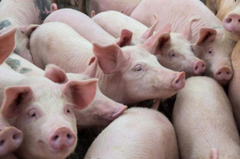 Стопани на прасета настояват за обезщетения