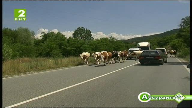 Крави и коне безстопанствено пасат край шосето от Банско за Разлог