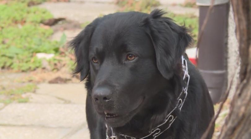 Лабрадорът Бруно се завърна у дома с помощта на съседи и социалните мрежи