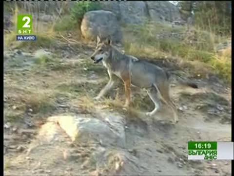 Гладни вълци нападат домашните животни в селата в Средна гора