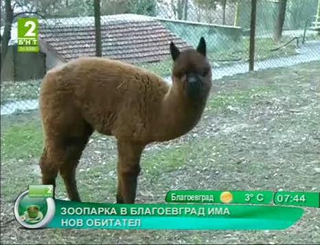Лама вече обитава зоопарка в Благоевград
