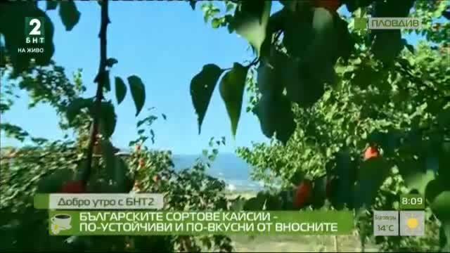 Българските сортове кайсии – по-устойчиви на сушата и по-вкусни от вносните