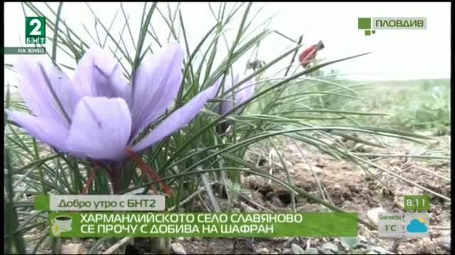 Харманлийското село Славяново се прочу с добива на шафран
