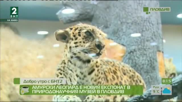 Амурски леопард е новият експонат в Природонаучния музей в Пловдив
