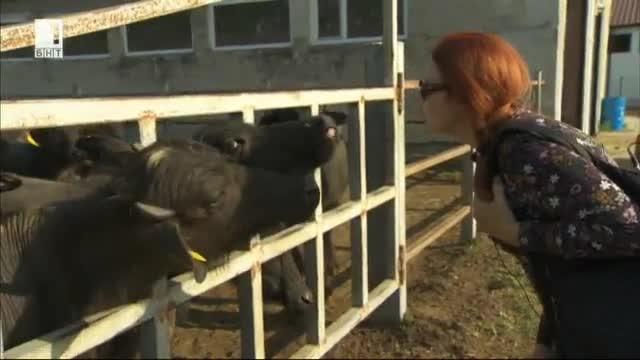 Какво се случва в една от най-модерните ферми за биволи у нас?