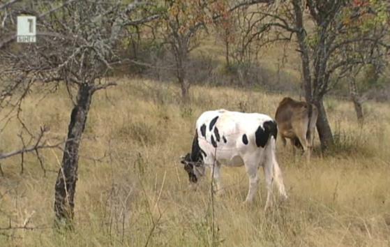 30.11.2013: Как ще оцелеят малките млечни стопанства