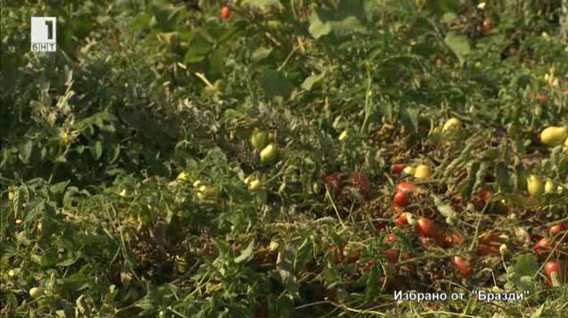 Избрано от Бразди: Най-големият производител на домати у нас е италианец