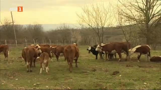 Фермери замениха млечните крави с месодайни