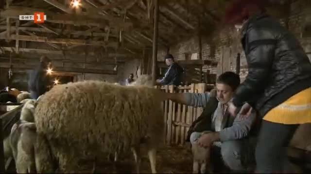 Овцеферма от с. Арнаутито с добри резултати от работа със старозагорската порода