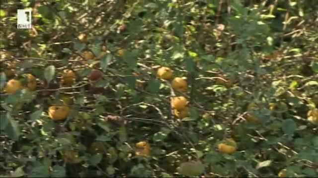 Качествата на планинския лимон