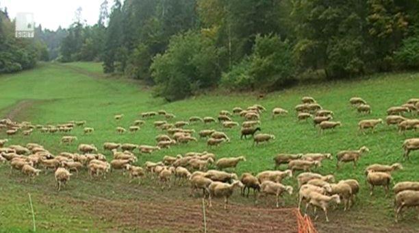 Как 950 овце осигуряват 1 милион франка годишен приход?