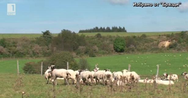 Как човек отглежда сам 500 овце във френското село Марож