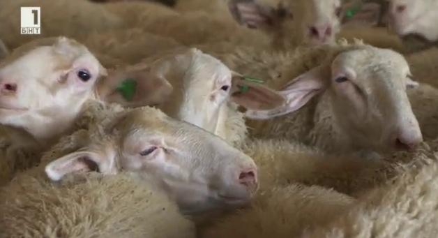 Къде се намират българските породи в класацията на Световното млечно стопанство