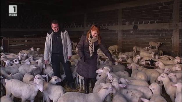 Стадата с овце лакон – два пъти по-печеливши