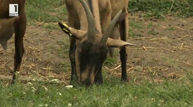 За приключенията на алпийската коза във Войводина