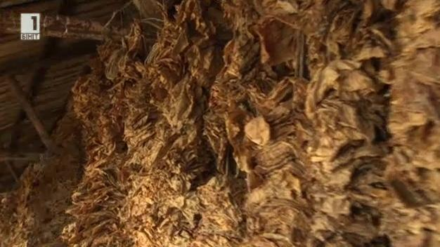 Тютюнопроизводството в село Мустаг