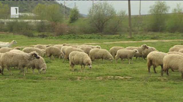 Могат ли да се гледат овце без субсидии?