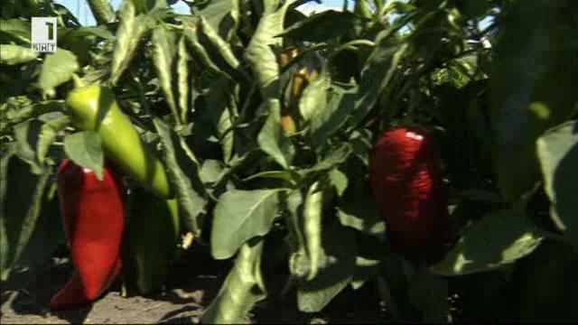 Защо пиперът е бингото на земеделието?