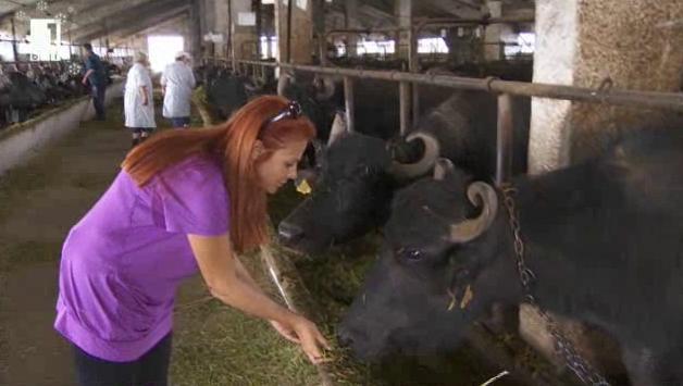 Възражда ли се биволовъдството в България?