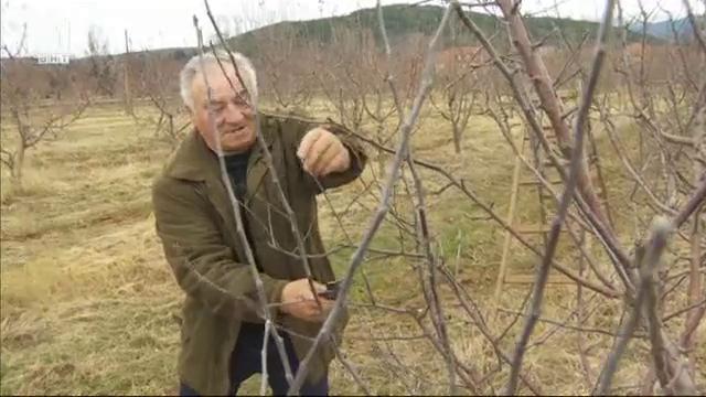 Как правилно да подрежем овощните дръвчета?