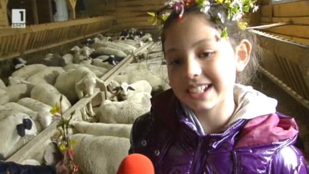 Как се дои овца