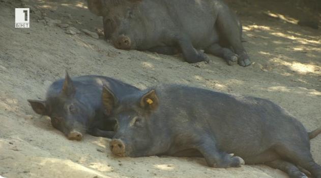 Източнобалканската свиня - порода, застрашена от изчезване