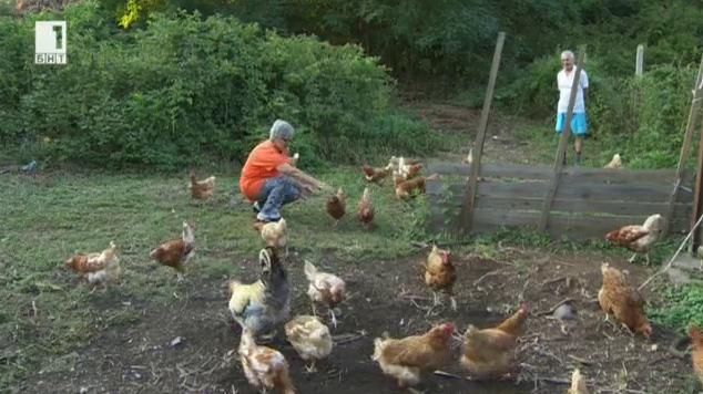 Щастливите кокошки на Марияна от село Превала