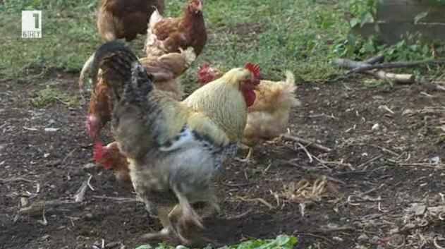 Щастливите кокошки от село Превала