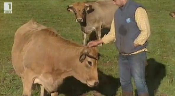 Винени диети за крави
