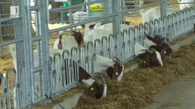 Как се отглеждат кози от породата боер?