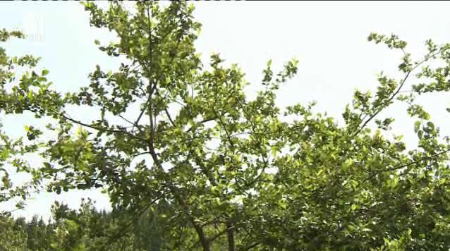 Каква реколта от арония и малини се очаква в Западните Родопи