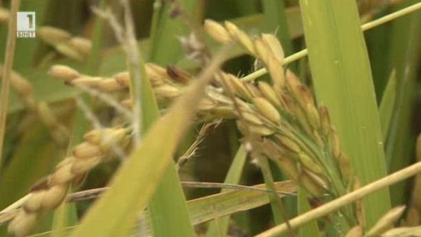 Жътвата на ориз и проблемите, свързани с оризовата реколта