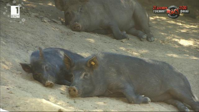 Източнобалкнската свиня