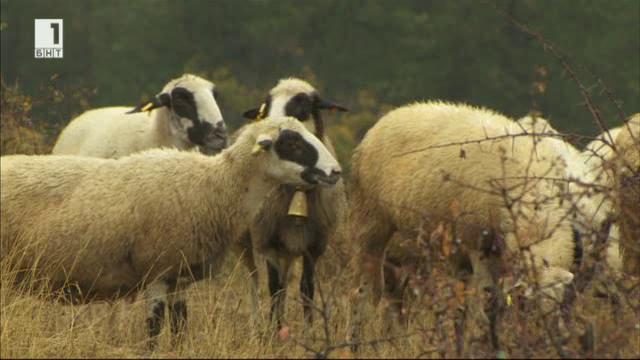 Брезнишките овце на Олег Стаменов от село Лесковец