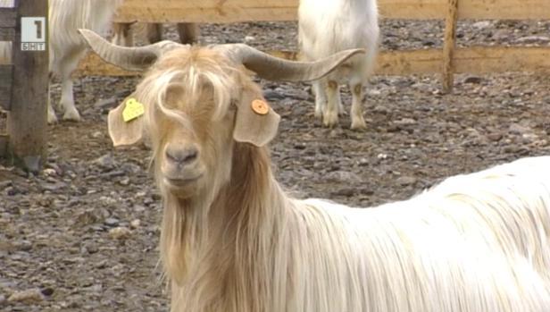 Уникалната порода малашевска коза става все по-популярна