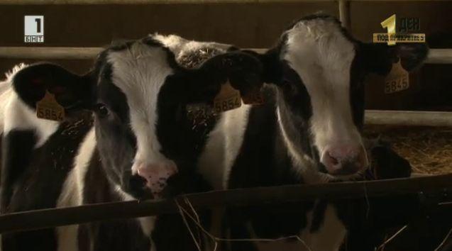 Кризата в млечния сектор и проблемите на френските фермери