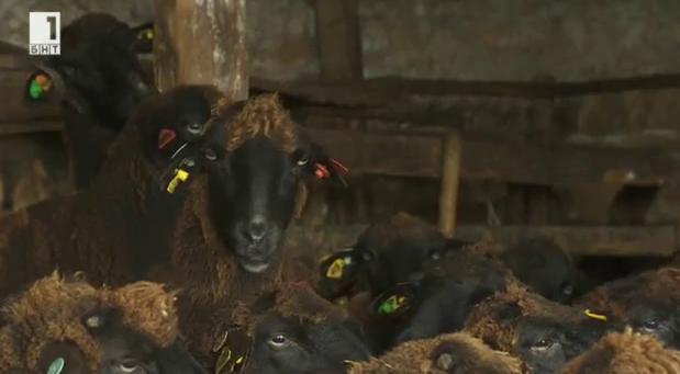 Mедночервена шуменска - какво е мястото й в съвременното овцевъдство