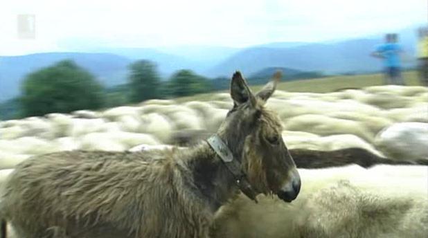 Как магарицата Пепа възстанови отколешна  традиция в Етрополския балкан?