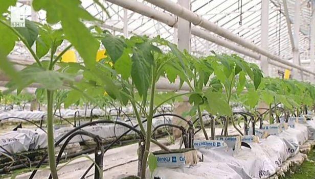 Оранжерийното производство на зеленчуци у нас