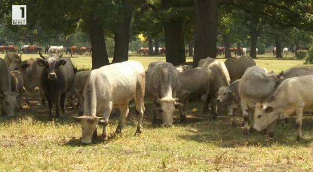 Намериха ли своето място в съвременното животновъдство автохтонните породи