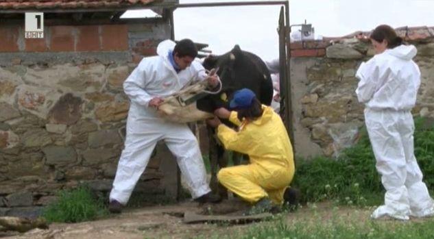 Мерки в борбата със заразния нодуларен дерматит