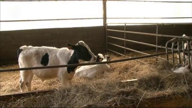 В млечната ферма на Даниел и Яник Алер от Южна Франция