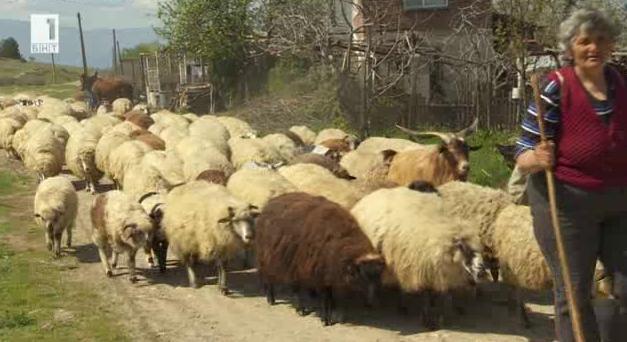 Да отглеждаш каракачански овце