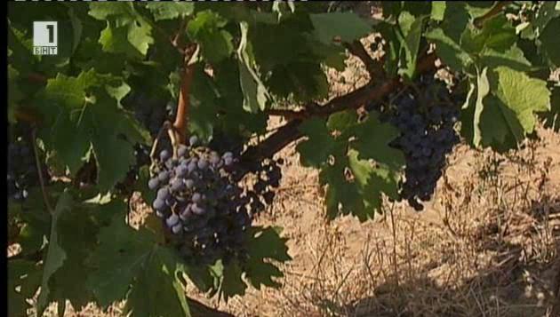 Маврудът – вино с характер