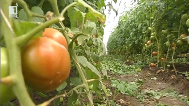 Розовият български домат – митове и легенди