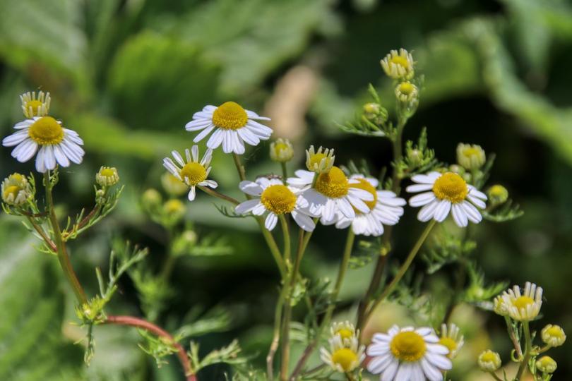 Събирането и търговията на билки у нас - печеливш бранш с много проблеми