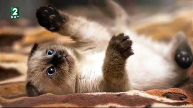 Една от най-красивите породи котки - сиамската
