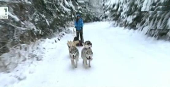 Кучешки впряг на Витоша