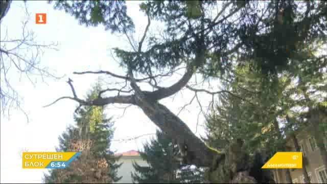 Вековен дъб кандидатства за Европейско дърво на 2020